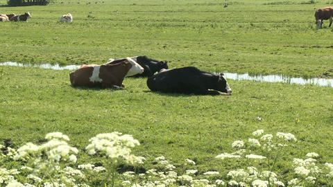 Cows in a pasture Stock Video Footage
