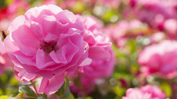 Rose flower bed Stock Video Footage
