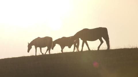 Horses against backlight HD Footage