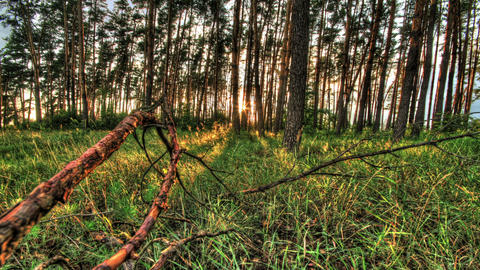 Pine forest with the last of the sun shining throu Stock Video Footage