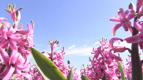 Pink hyacinths Stock Video Footage
