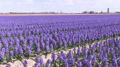 Purple hyacinths Footage