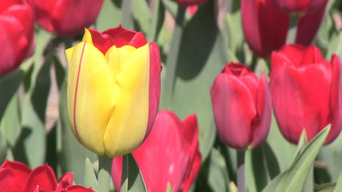 Red Tulips One Yellow close Stock Video Footage