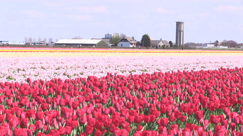 Field Tulips Stock Video Footage