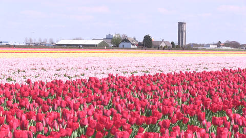 Field Tulips Footage