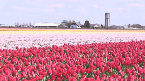 Field Tulips Stock Video Footage