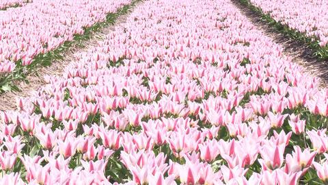 Field Multicolored Tulips Stock Video Footage