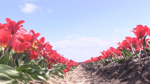 Red Tulips lowangle Footage