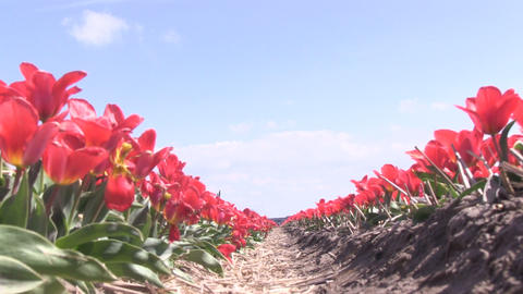 Red Tulips lowangle Stock Video Footage
