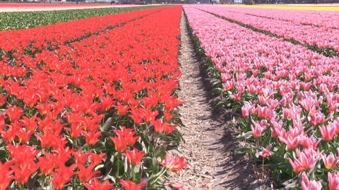 Field Red Pink Yellow Flowers Footage