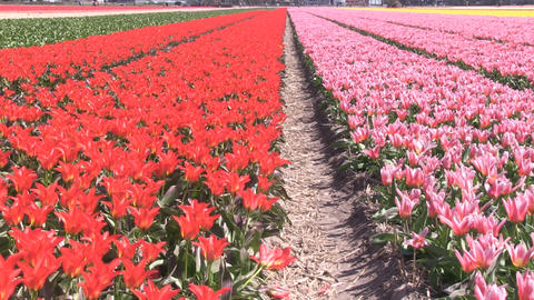 Field Red Pink Yellow Flowers Stock Video Footage