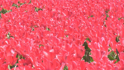 Bright Red Tulips Stock Video Footage