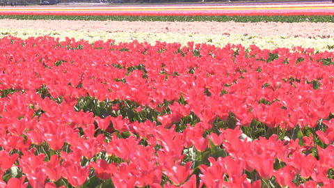 Field Multicolored Flowers Stock Video Footage