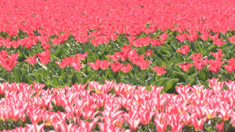 Bright Red Multicolored Flowers Footage