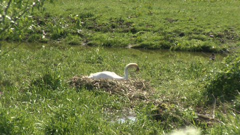 Swan nesting Stock Video Footage