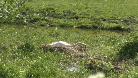 Swan nesting Stock Video Footage