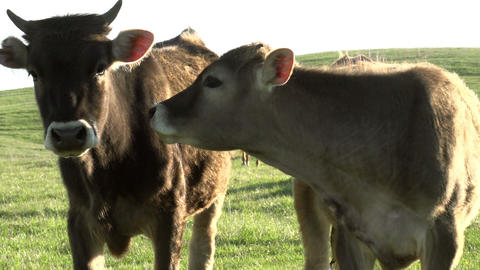 Two Calf HD Stock Video Footage