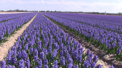 Purple hyacinths Footage