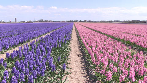 Purple Pink hyacinths Stock Video Footage