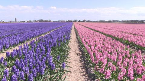 Purple Pink hyacinths Stock Video Footage