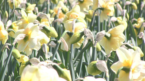 Yellow daffodils Stock Video Footage