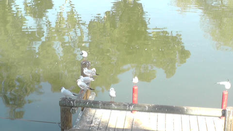 Pigeons on a piece of wood Stock Video Footage