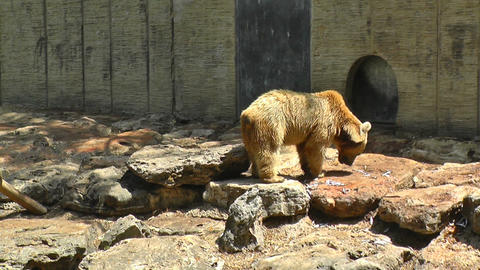 Brown bear eating fish Stock Video Footage