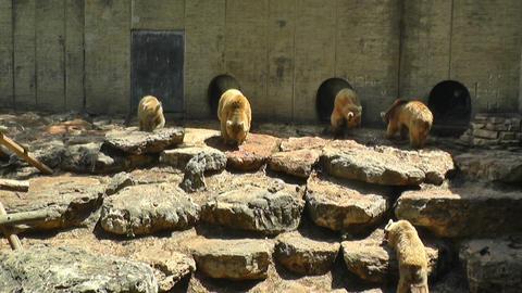 Brown bears eating fish Stock Video Footage