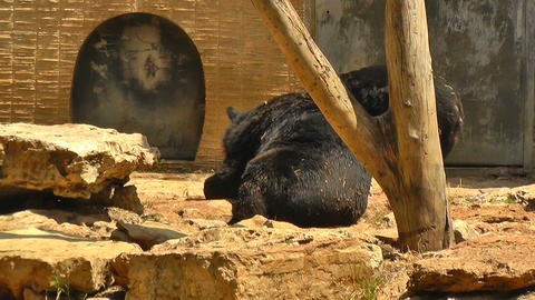 Two brown bears Stock Video Footage