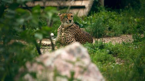 Cheetah Footage