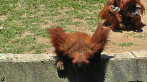 Orangutan At Zoo Looking For Food stock footage
