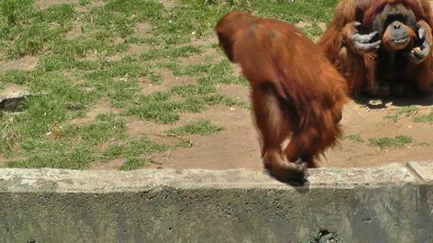 Orangutan at zoo looking for food Stock Video Footage