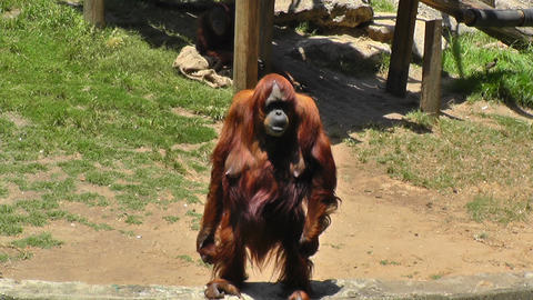 Orangutan at zoo looking for food Footage