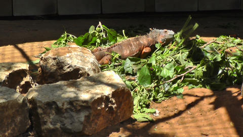 Iguana eating grass Stock Video Footage