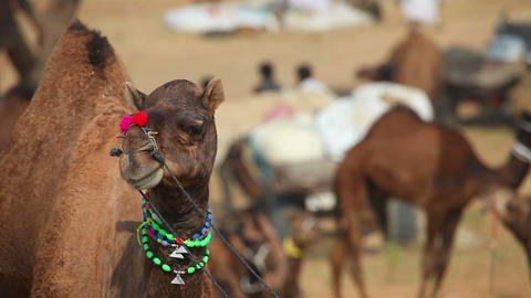 Camel Stock Video Footage