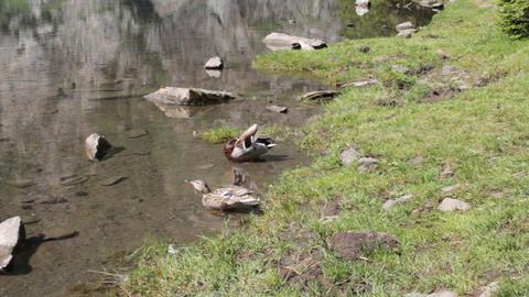 mallards in a lake Stock Video Footage
