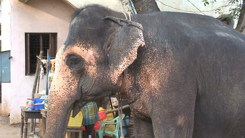 Tilt from elephant head to trunk Stock Video Footage