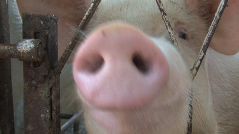 Funny Pig Stock Video Footage