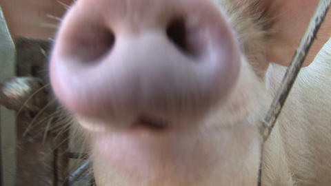 Pig sniffing Stock Video Footage