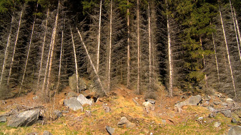 Dramatic forest of pine trees Stock Video Footage