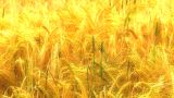 11790609FIELDOFWHEATEX3 stock footage