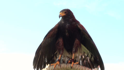 golden eagle 01 Stock Video Footage