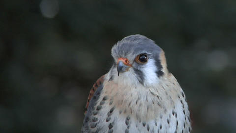 kestrel close up 02 Stock Video Footage