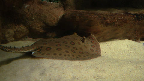 ocellate river stingray 02 Stock Video Footage