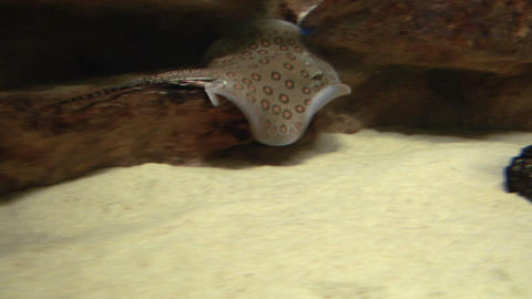 ocellate river stingray 04 Footage