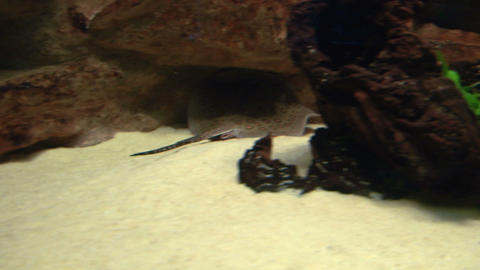 ocellate river stingray 04 Stock Video Footage