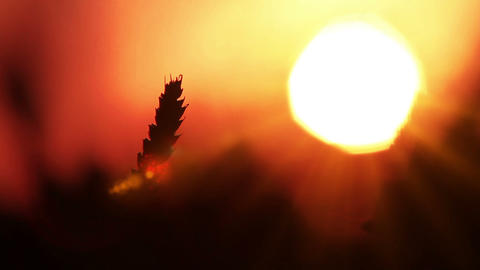 Wheat In The Sun Stock Video Footage