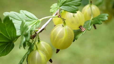 Gooseberries stock footage
