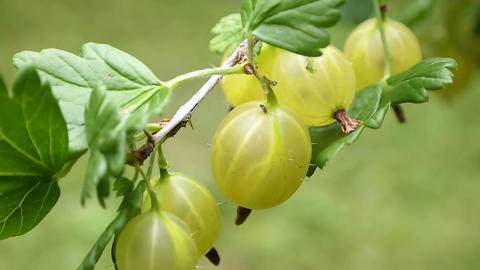 gooseberries Stock Video Footage