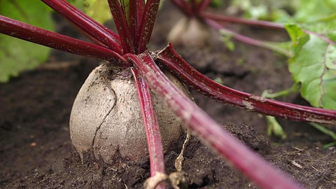 beet Stock Video Footage